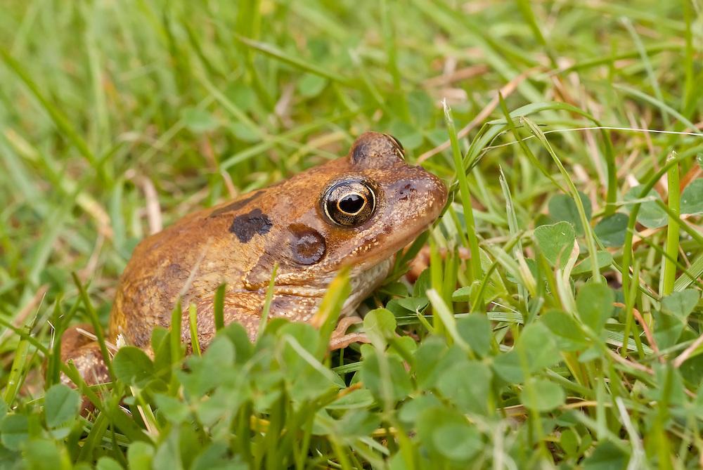 Common frog, Rana temporaria, in a garden in Bedfordshire, England