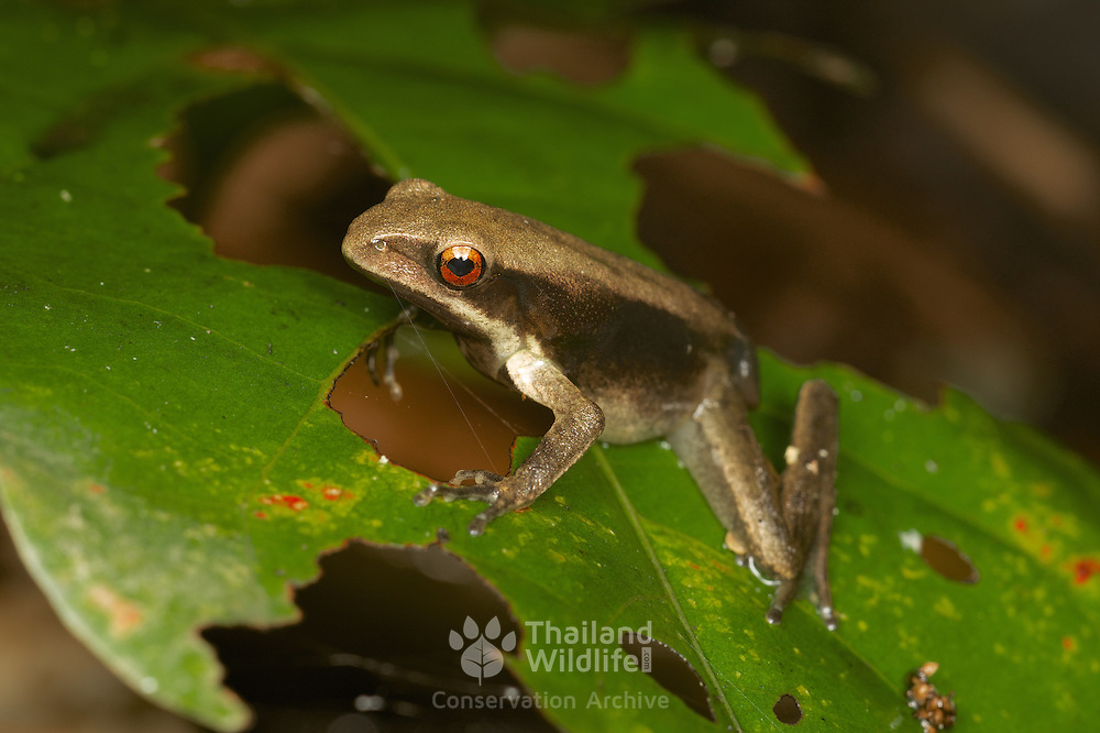 Unknown Narrow-mouthed Frog (Microhylidae), Kaeng Krachan National Park, Thailand.
