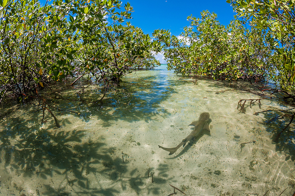 The mangroves provide protection from large predators, mostly other sharks, as the prop roots are a tangle too tight for larger sharks to swim through. Lemon sharks will return to the same exact creek they were born in to give birth, a process known as natal philopatry. Lemon sharks depend on mangroves for the survival of the first 5-8 years of their lives. Mangroves are disappearing throughout the world and the fate of the lemon shark is left in the balance. We need to get proper protections for the world's mangroves and then enforce them.