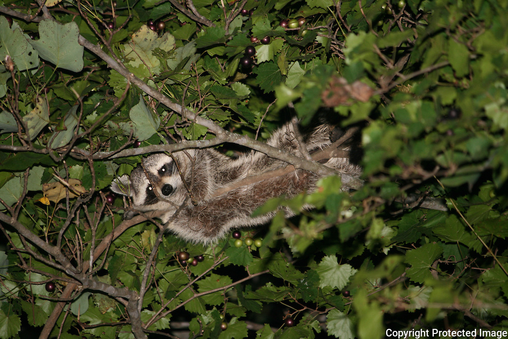 A raccoon laying on a Muscadine Grape vine while eating the ripe grapes.