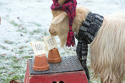 """Boots the fortune telling goat gives their predictions for 2017, at Lanton Hill Farm, Jedburgh. Think this was """"Will the world transfer record be broken""""."""