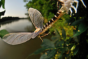 About two minutes after landing in the vegetation of the river bank the male long-tailed mayfly (Palingenia longicauda) concludes its last moult. By starting to fly hard towards the river the animal pulls its long caudal tails out of the old skin which will be left behind on the leaf looking like a pale ghost of the fly. Tisza blooming (Tiszavirágzás). It is when millions of long-tailed mayflies (Palingenia longicauda) are rising in huge clouds, reproduce, and perish, all in just a few hours.