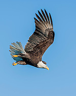 Bald eagle in diving flight against clear blue sky, © 2005 David A. Ponton