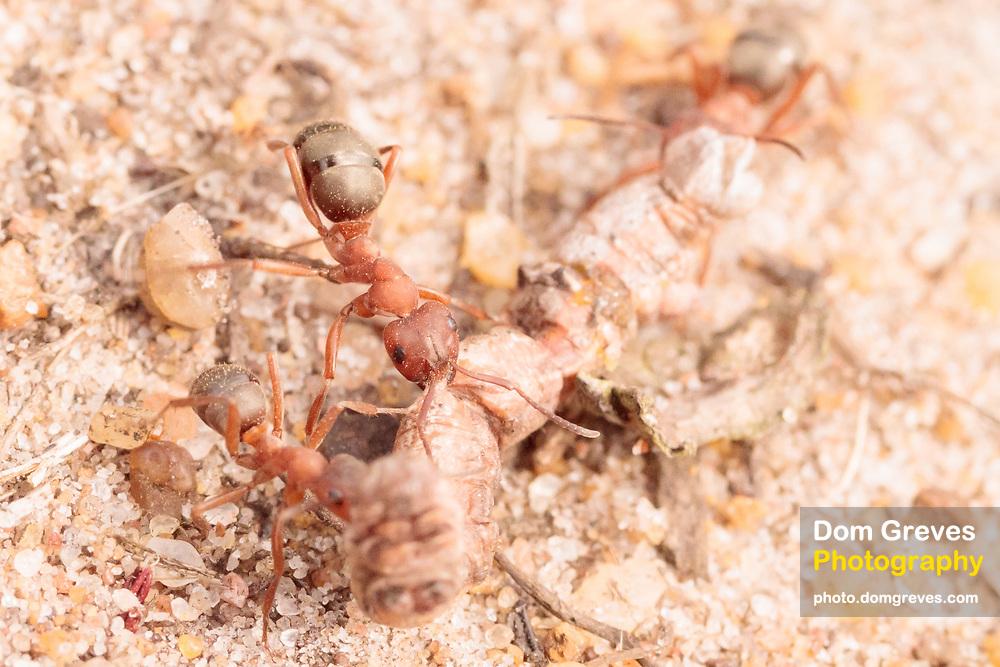 Blood-red slave-making ants (Formica sanguinea) with moth caterpillar prey on heathland. Surrey, UK.