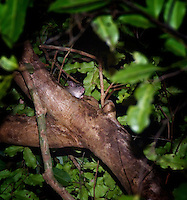 Many of the forests  were infested with rats which often displace geckos from their native habitat.