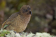 Kea, Fiordland, New Zealand