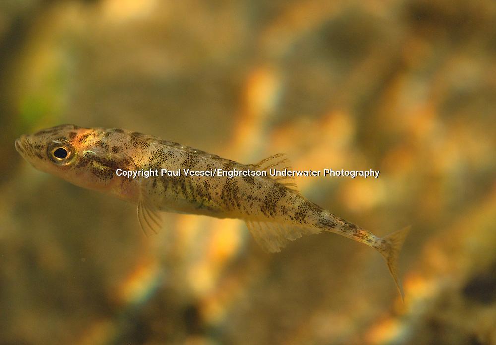 Ninespine Stickleback<br /> <br /> Paul Vecsei/Engbretson Underwater Photography