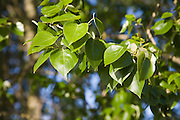 Close up of leaves of Common or Quaking Aspen trees, Populus tremula, Suffolk, England