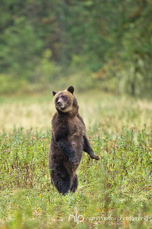 Grizzly Bear standing in field;  Khutze Bay, British Columbia in wild.