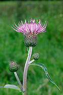 MELANCHOLY THISTLE Cirsium heterophyllum (Asteraceae) Height to 1m. Upright and unbranched perennial with stems that are grooved, cottony, spineless and unwinged. FLOWERS are borne in heads, 3-5cm across, with reddish purple florets; heads usually solitary or in small clusters (Jun-Aug). FRUITS have feathery pappus hairs. LEAVES are oval, toothed and barely spiny, green and hairless above but coated with white felt underneath. STATUS-Locally common only in N England and Scotland.