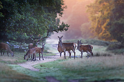 © Licensed to London News Pictures. 25/09/2015. London, UK. A herd of deer gather in Richmond Park at first light. Photo credit: Peter Macdiarmid/LNP