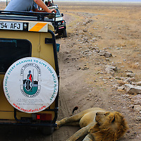 Photographer in safari vehicle watching lion shade himself next to the vehicle in Ngorongoro Crater Tanzania.
