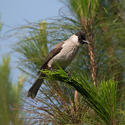 The sooty-headed bulbul (Pycnonotus aurigaster) is a species of songbird in the bulbul family, Pycnonotidae