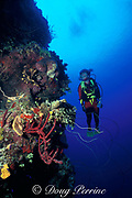 wall dive in Tongue of the Ocean,<br />  off New Providence Island, Nassau, Bahamas, <br /> ( Western Atlantic Ocean )  MR 180