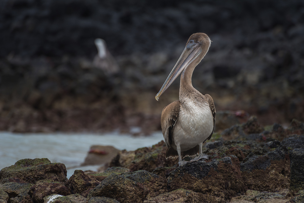 Pelican washing itsself on the rocks beside the ocean, Santa Cruz, Galapagos, Ecuador.