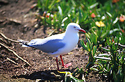 A seagull at the Otago Peninsula, south island, new zealand, 1999.
