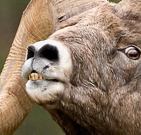 rutting bighorn sheep ram lip curling teath showing