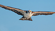 Osprey in flight, head on view, eye contact, Florida, © 2007 David A. Ponton