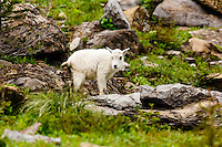 Wildlife seen while travelling the Going-to-the-Sun road through Logan Pass in Glacier National Park<br /> <br /> &copy;2016, Sean Phillips<br /> http://www.RiverwoodPhotography.com
