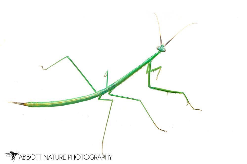 Brunner's Mantis (Brunneria borealis)<br /> captive reared individual<br /> 4-Sep-2017<br /> J.C. Abbott
