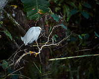 Snowy Egret perched on a branch in Big Cypress Swamp. Image taken with a Nikon Df camera and 70-200 mm f4 lens (ISO 3200, 200 mm, f/4, 1/250 sec).