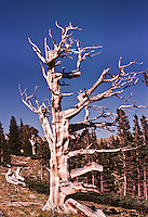 This dead Bristlecone pine tree resists decay due to the high concentration of resin canals. Mount Evans, Colorado.
