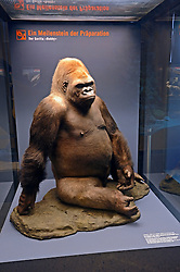 15.03.2016, Museum fuer Naturkunde, Berlin, GER, Naturkundemuseum Berlin, im Bild Praeparat des Gorilla Bobby (Gorilla) // Exhibits in the Natural History Museum Museum fuer Naturkunde in Berlin, Germany on 2016/03/15. EXPA Pictures © 2016, PhotoCredit: EXPA/ Eibner-Pressefoto/ Schulz<br /> <br /> *****ATTENTION - OUT of GER*****