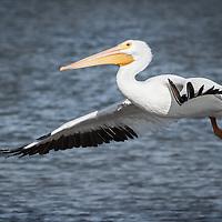 Pelicans, waders, hawks, vultures