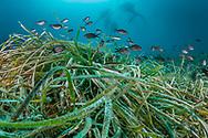 Seagrass-Posidonie (Posidonia oceanica) of Méditerranée sea.