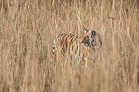 A year-old Bengal tiger  (Panthera tigris tigris) standing in tall grass in Bandhavgarh National Park, Madhya Pradesh, India.