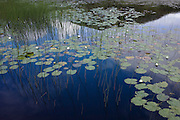 Detail of water lillies and plant-life in small Lochan in Moidart on the Ardnamurchan peninsular, Western Scotland.