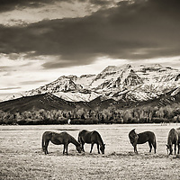 A black and white photograph of a pasture and horses below the iconic Mt. Timpanogos in the Heber City Valley in Utah.
