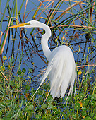 WETLAND MARSH: GREAT EGRET