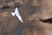Antarctic Tern, Stewart Island, New Zealand