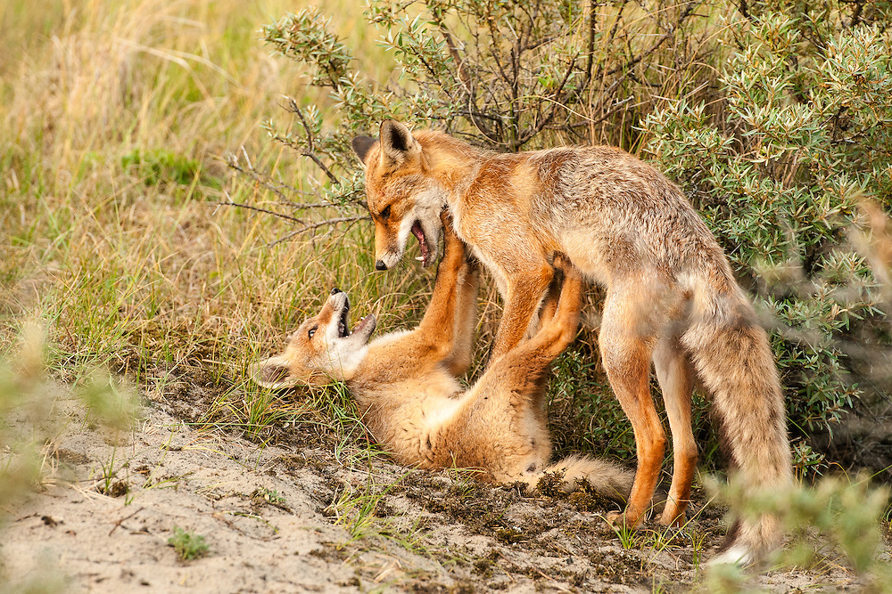 Red Fox (Vulpus vulpus) adult and cub  playing