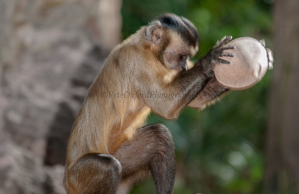 "Brown Capuchin Monkey - ""Tool using""<br /> Cebus apella<br /> Cerrado Habitat<br /> Piaui State, BRAZIL. South America<br /> Range: Various habitats throughout South America<br /> Cracking palm nut from ( Atalea funifera) with rock<br /> ""FIRST INTERNATIONALLY PUBLISHED RECORD OF NEW-WORLD PRIMATES USING TOOLS IN THE WILD"""