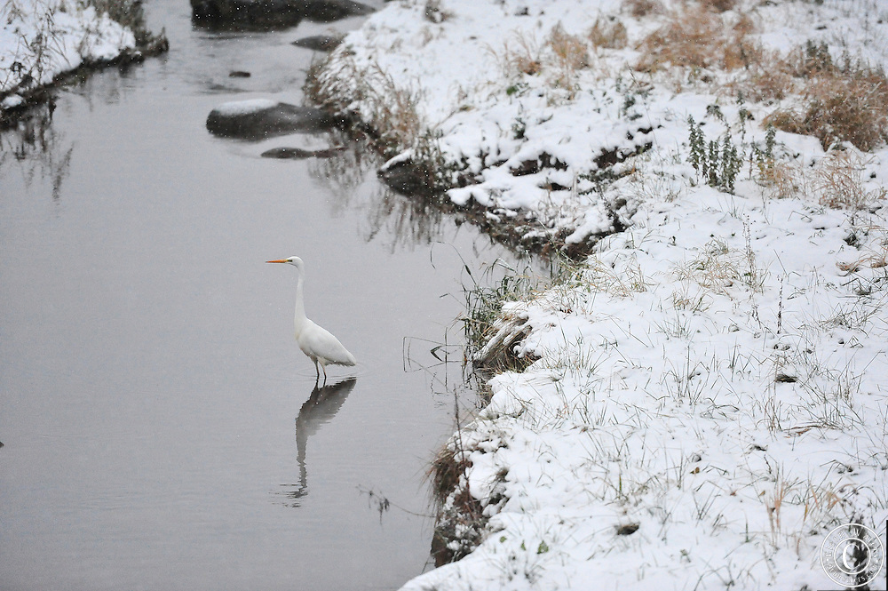 A Japanese crane in a lonely stream in northern Japan.