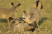 Bat-eared fox<br /> Otocyon megalotis<br /> 7 month old pups playing<br /> Masai Mara Triangle, Kenya
