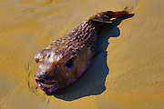 Pufferfish on sand, Mexico
