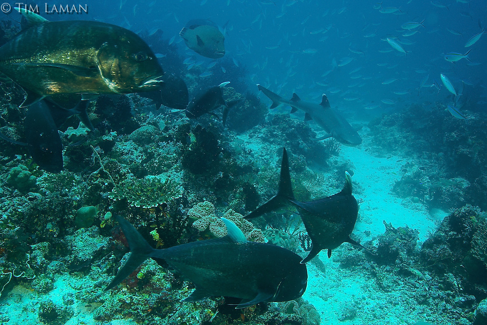 Large jacks and a Napolean wrasse (top center) eye a hunting white tip reef shark on a reef in the Raja Ampat Islands, Indonesia.  Fusiliers school in the background.  This is an example of a very healthy reef supporting high biomass of fish.