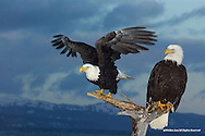 Bald Eagle<br /> The Spit; Homer, Alaska<br /> <br /> During winter, every morning at 7 PM, Jean Keene, known world-wide as The Eagle Lady, would feed 200 to 300 Bald Eagles congregating around her tiny yard on the Homer Spit. The two eagles depicted in this limited edition photograph, along with several hundred of their compatriots, arrived a good half hour before feeding time.<br /> <br /> The Eagle Lady crossed over January 13, 2009. She is missed by everyone, especially her Eagles. This image is dedicated to her.<br /> <br /> Edition of 500