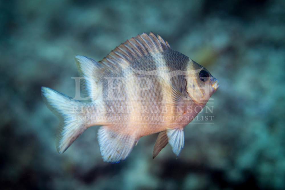Parma kermadecensis (Kermadec scalyfin) Subadult. Friday 23 January 2015<br /> Photograph Richard Robinson &copy; 2015<br /> Dive Number: 570<br /> Site: North Meyer Island, Western Side, Kermadecs. <br /> Boat: Brave Heart<br /> Dive Buddy: Stephen Ulrich<br /> Time: 12:00<br /> Temperature: 22<br /> Maximum Depth: 23 meters<br /> Bottom Time: 60 minutes<br /> Bottom Time to Date: 39,577 minutes<br /> Cumulative Time: 39,637 minutes