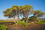 Beach heliotrope tree, Kawa Bay, Kau, The Big Island of Hawaii