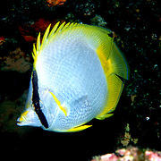 Spotfin Butterflyfish flit about reef tops, often in pairs in Tropical West Atlantic; picture taken  Key Largo, FL.