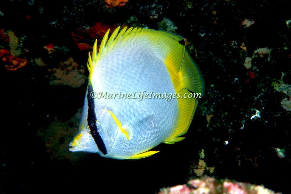 Spotfin Butterflyfish flit about reef tops, often in pairs in Tropical West Atlantic; picture taken  Key Largo, FL.