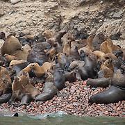 South American sea lion (Otaria flavescens). Ballestas Islands, Paracas, Peru.