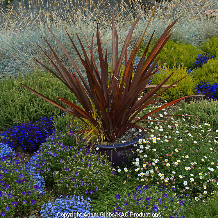 New Zealand flax surrounded by ornamental grass and lobelia