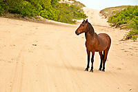 NC01416-00...NORTH CAROLINA - One of the semi-wild Banker horses walking a sandy road through an issolated beach side community on the Outer Banks, north of Corrola.