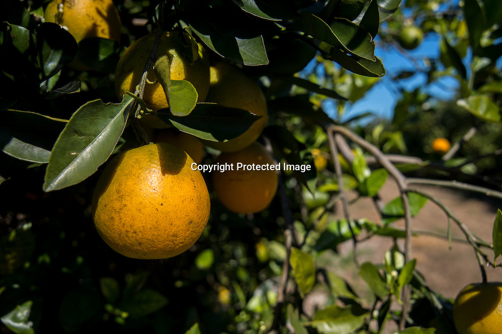 Grapefruit in a citrus grove near Lake Wales, Florida.
