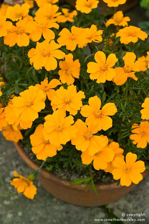 French Marigold 'Disco Orange' in a terracotta pot